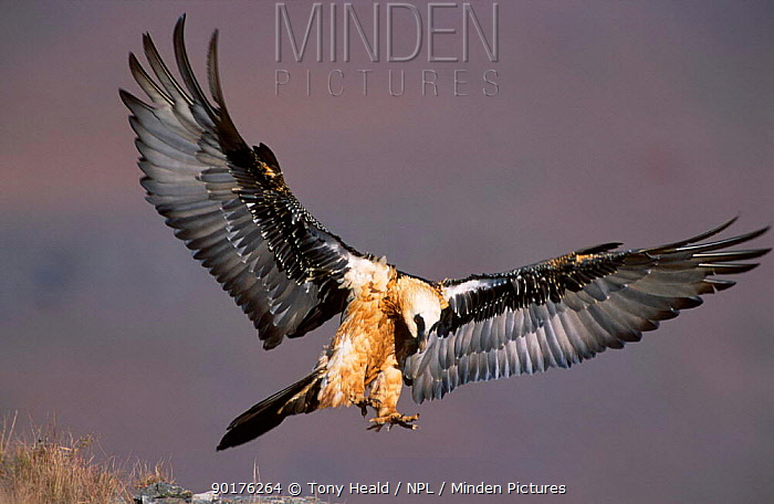 Lammergeier (Bearded vulture) landing (Gypaetus barbatus) Giants Castle South Africa  -  Tony Heald/ npl