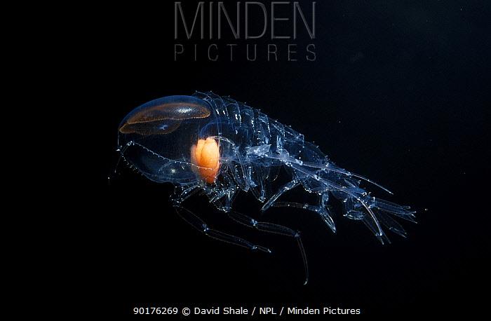 Deep sea amphipod with large eye (Cystisoma sp) Atlantic ocea  -  David Shale/ npl