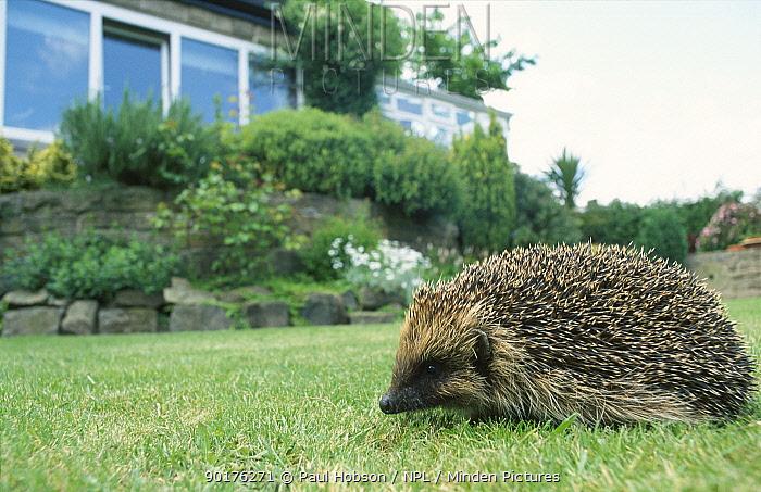 Hedgehog crossing lawn (Erinaceus europaeus) Yorkshire UK  -  Paul Hobson/ npl