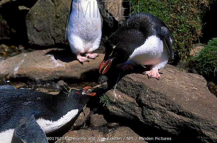 Rockhopper penguins interacting (Eudyptes chrysocome, crestatus) Falkland Is  -  Hanne & Jens Eriksen/ npl
