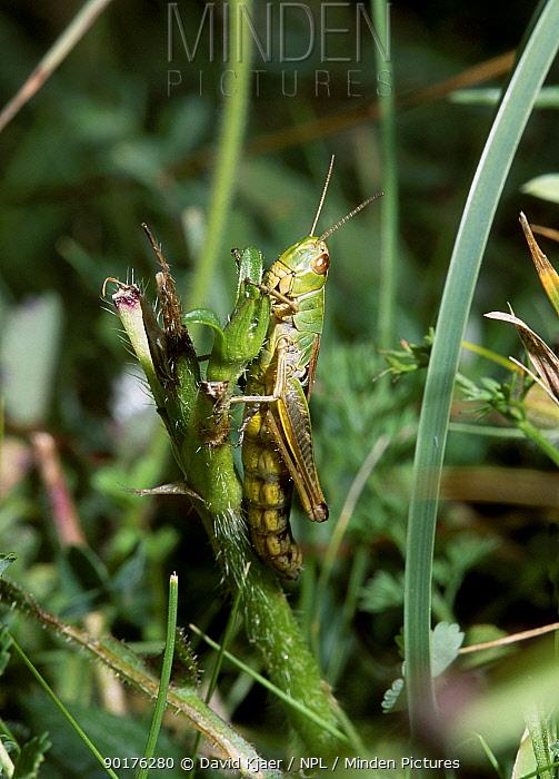 Meadow grasshopper (Chorthippus parallelus) Wiltshire UK  -  David Kjaer/ npl