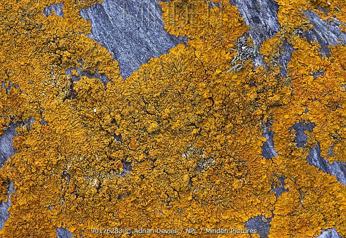 Lichen on stone (Xanthoria parietina) Devon UK  -  Adrian Davies/ npl