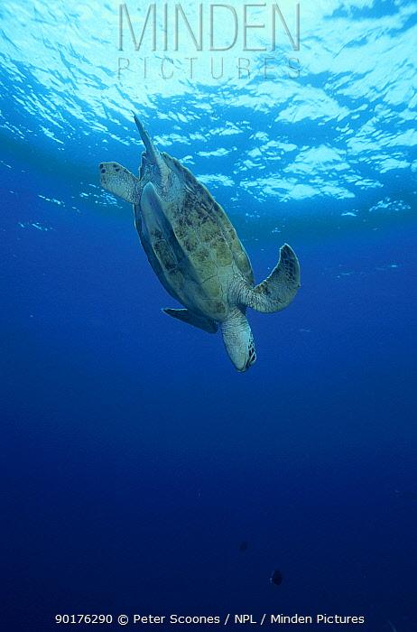 Green turtle diving (Chelonia mydas) Sipadan Sabah Malaysia  -  Peter Scoones/ npl