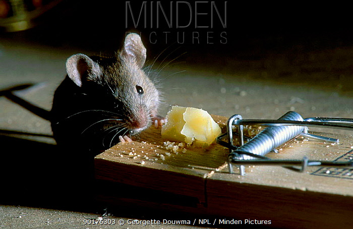 House mouse eating cheese from a mouse trap (Mus musculus) UK  -  Georgette Douwma/ npl