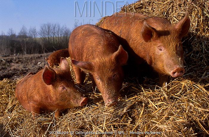 Dometic pigs (Sus scrofa domestica) Juvenile Tamworth x Bluespot UK  -  Georgette Douwma/ npl