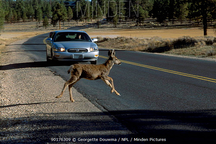 Mule deer (Odocoileus hemionus) crosses road in front of car Bryce Canyon NP Utah USA  -  Georgette Douwma/ npl