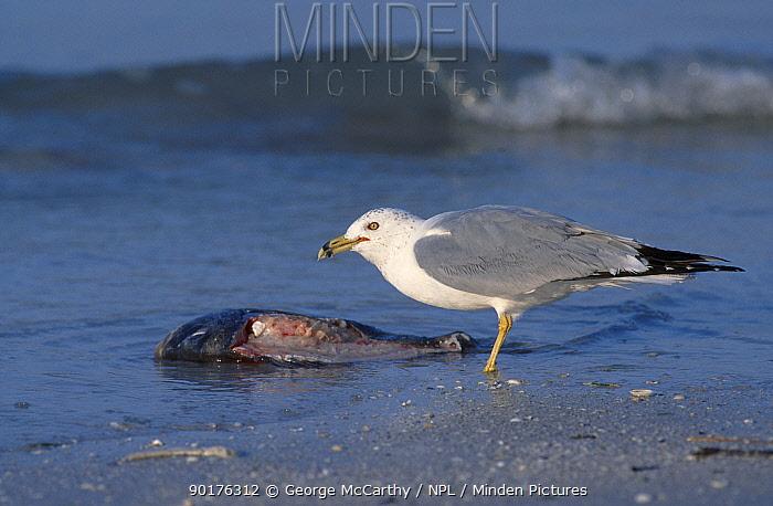 Ring-billed gull (Larus delawarensis) feeds on dead fish Everglades Florida USA  -  George Mccarthy/ npl