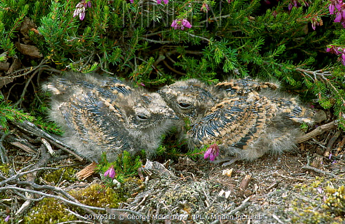 Nightjar fledglings (11-days-old) (Caprimulgus europaeus) Sussex UK  -  George Mccarthy/ npl
