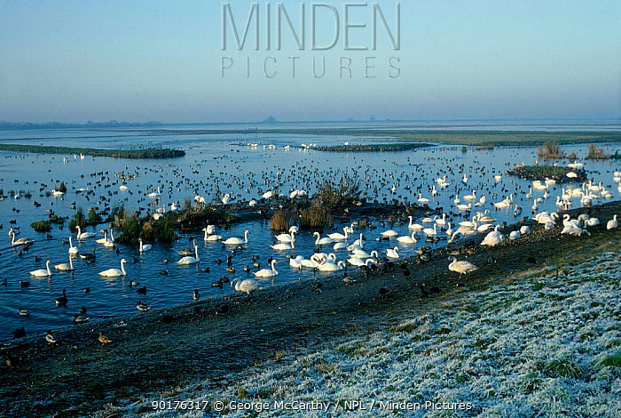 Mixed flocks of waterfowl on Ouse estuary Welney WWT Norfolk UK  -  George Mccarthy/ npl