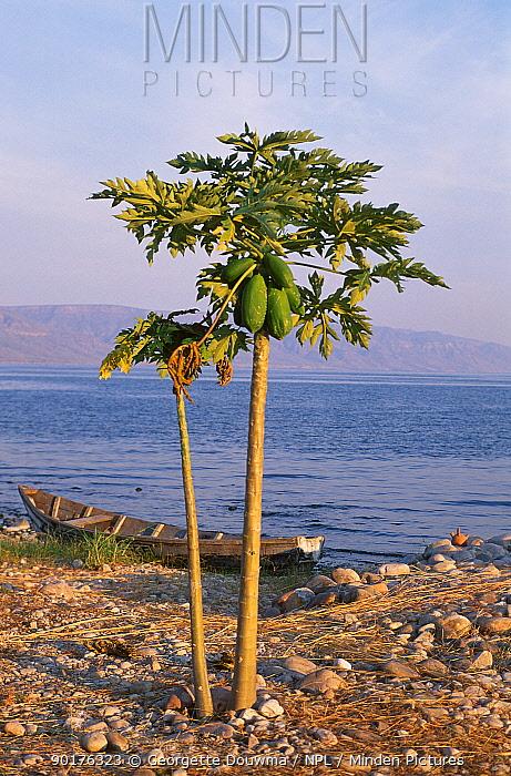 Lake Tanganyika at sunset with boat and papaya tree Zambia Southern Africa  -  Georgette Douwma/ npl