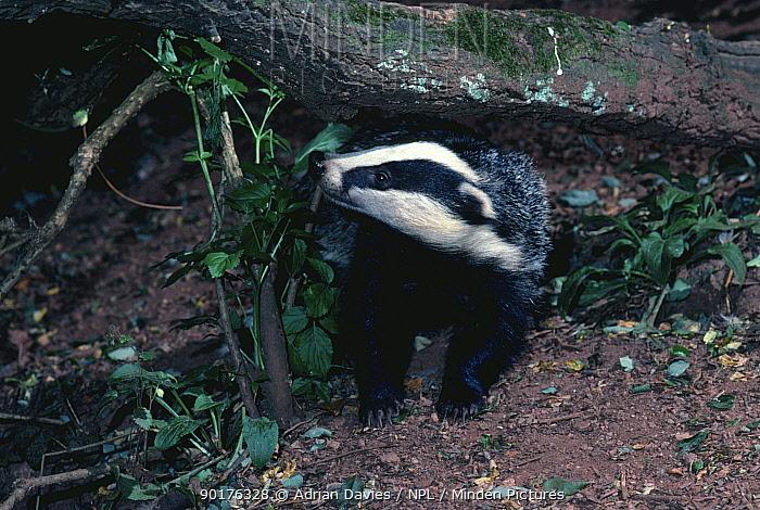 Badger (Meles meles) England  -  Adrian Davies/ npl