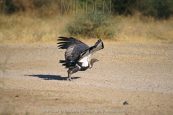 Indian white backed vulture taking off (Gyps bengalensis) Thar Desert, India  -  Elio Della Ferrera/ npl