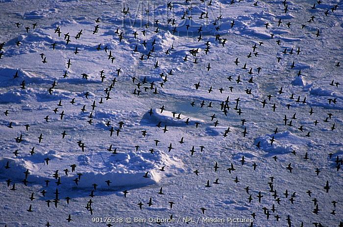 Crested auklet flock fly over packice (Aethia cristatella) Talan Is Okhutsk Sea E Russia  -  Ben Osborne/ npl