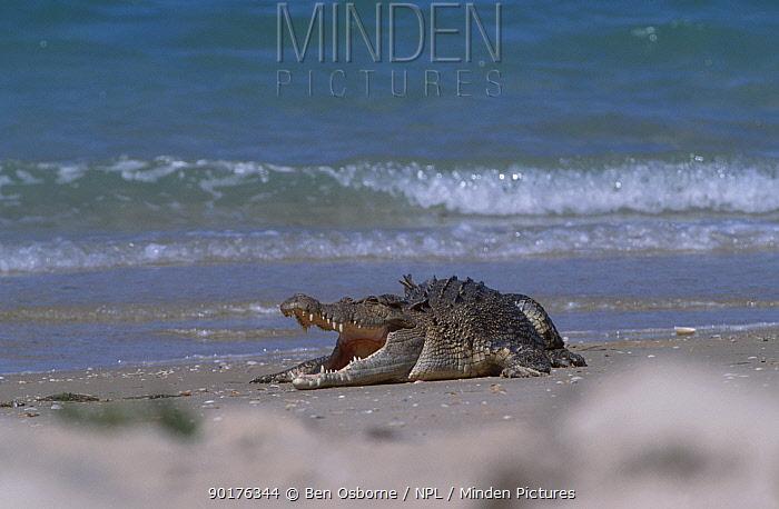 Saltwater crocodile on beach (Crocodylus porosus) Crab Is Queensland Australia Cape York  -  Ben Osborne/ npl