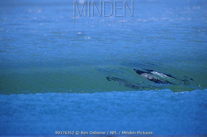 Piebald (Commersons) dolphins surfing (Cephalorhynchus commersonii) Falkland Is  -  Ben Osborne/ npl