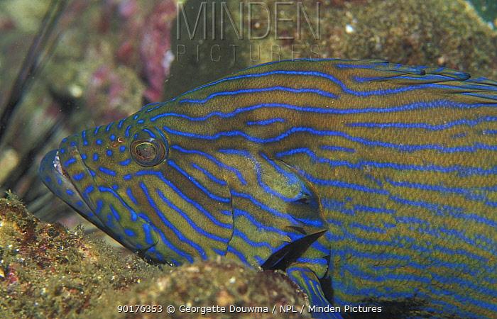 Bluelined hind, Grouper (Cephalopholis formosa) Andaman sea, Thailand  -  Georgette Douwma/ npl