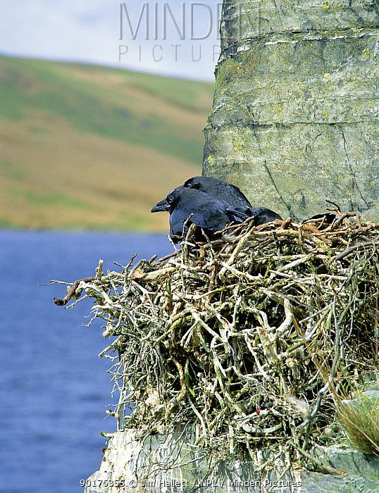 Common raven fledgelings in cliff nest (Corvus corax) Wales, UK  -  Jim Hallett/ npl
