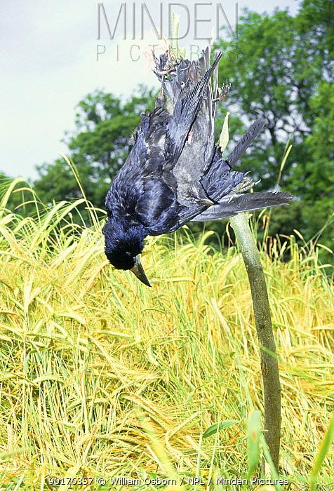 Dead Rook (Corvus frugilegus) and Jackdaw (C monedula) shot in barley field UK  -  William Osborn/ npl