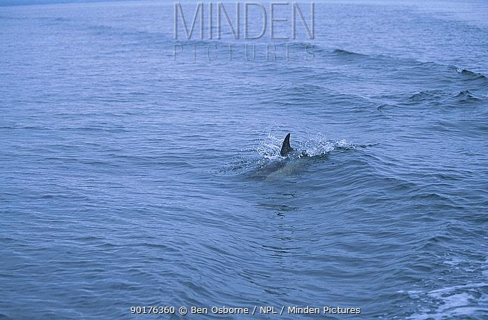Common dolphin (Delphinus delphis) W Scotland UK  -  Ben Osborne/ npl