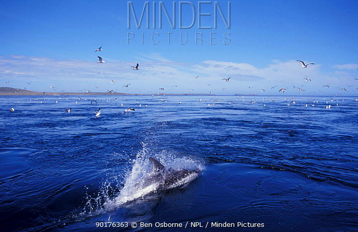 Dolphin surfing in front of boat seagulls Falkland Is  -  Ben Osborne/ npl