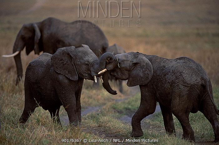 Young African elephants play fighting (Loxodonta africana) Masai Mara GR Kenya  -  Lisa Asch/ npl