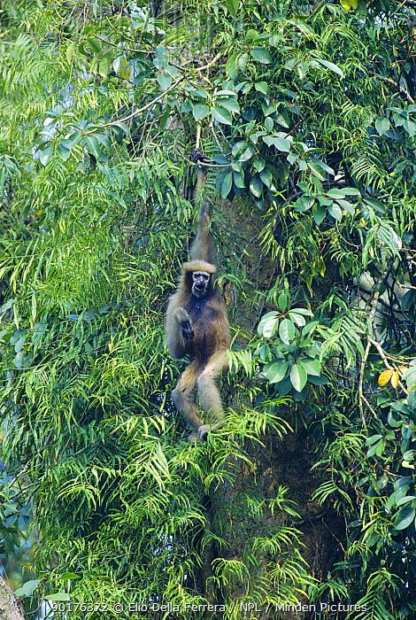 White browed gibbon hanging in tree (Hylobates hoolock) Vulnerable species, Assam, India  -  Elio Della Ferrera/ npl