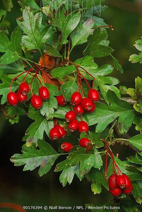 Hawthorn berries (Crataegus monogyna) Oxon, UK  -  Niall Benvie/ npl