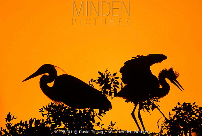 Two grey herons silhouetted at nest in tree (Ardea cinerea) England  -  David Tipling/ npl