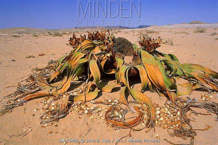 Welwitschia plant (Welwitschia mirabilis) two leaves only Namib Naukluft desert, Namibia, Southern Africa  -  Jose B. Ruiz/ npl