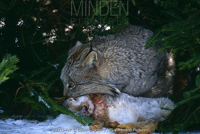 Canadian lynx (Lynx lynx canadensis) feeding on Snowshoe hare, captive, Canada  -  Louis Gagnon/ npl