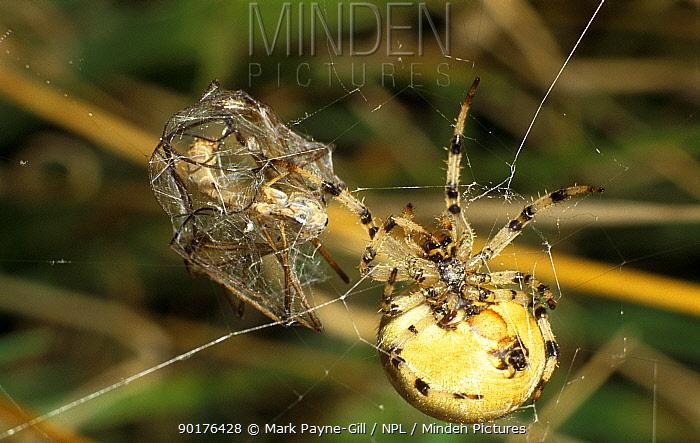 Garden spider with Cranefly prey in web Bucks, UK (Araneus diadematus)  -  Mark Payne-Gill/ npl