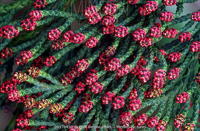 Lawson cypress tree flowers (Chamaecyparis lawsoniana) Angus, Scotland  -  Niall Benvie/ npl