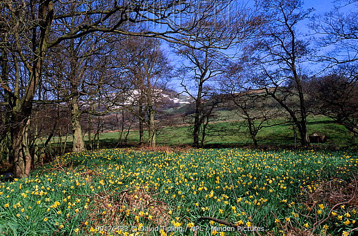 Wild daffodils in flower beside River Dove, North Yorkshire Moors, England  -  David Tipling/ npl