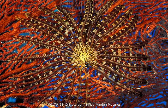 Featherstar on red seafan (Crinoidea), Solomon Islands  -  David Hall/ npl