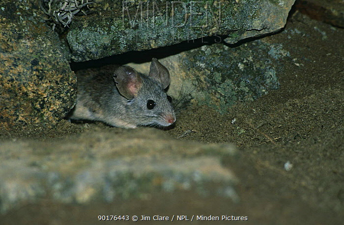 Leaf eared mouse (Phyllotis sp) peering out of hole, Paracas NP, Peru  -  Jim Clare/ npl