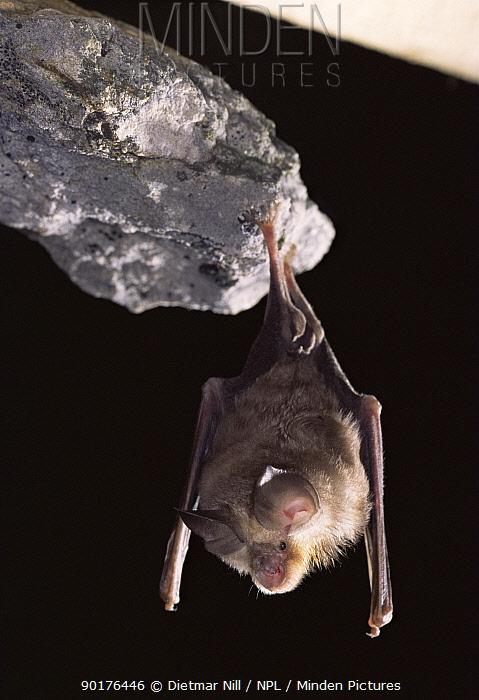 Mehely's horseshoe bat (Rhinolophus mehelyi) Germany  -  Dietmar Nill/ npl
