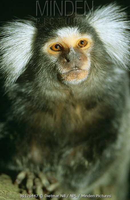 Tufted ear marmoset (Callithrix jacchus jacchus) captive, from South America  -  Dietmar Nill/ npl