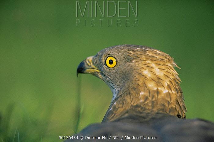 Honey buzzard (Pernis apivorus) Germany  -  Dietmar Nill/ npl