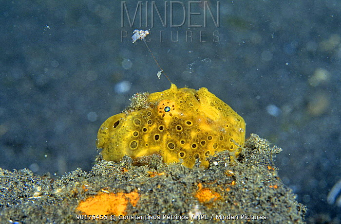 Yellow frogfish (Anglerfish) (Antennarius) with extended lure, North Sulawesi, Indonesia  -  Constantinos Petrinos/ npl