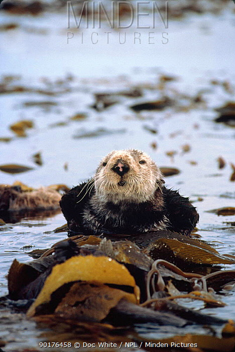 Sea Otter resting wrapped in kelp at sea surface (Enhydra lutris) California  -  Doc White/ npl
