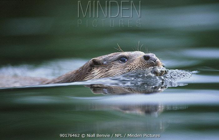 European river otter swimming (Lutra lutra) captive UK  -  Niall Benvie/ npl