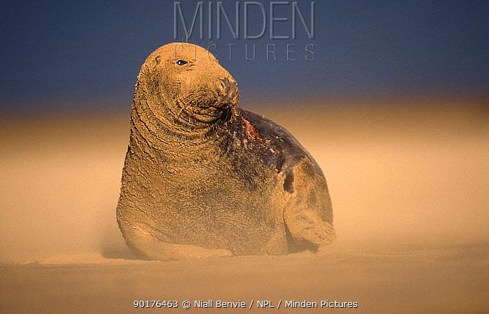 Grey seal in sandstorm (Halichoerus grypus) UK  -  Niall Benvie/ npl