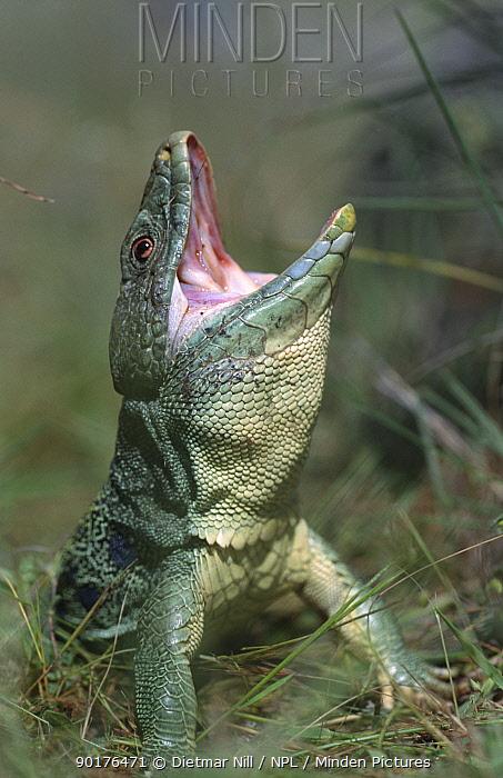 Lizard (Lacerata lepida) display posture, Spain  -  Dietmar Nill/ npl