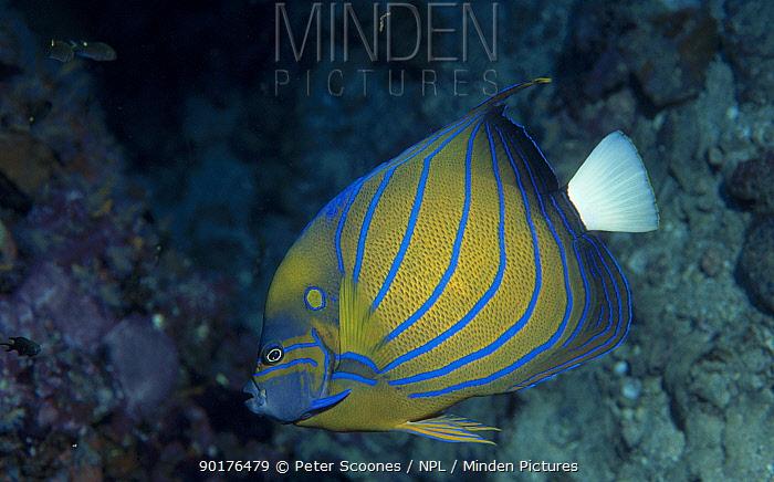 Blue ringed angelfish (Pomacanthus annularis) Andaman sea Thailand  -  Peter Scoones/ npl
