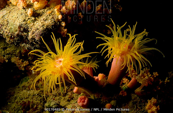Coral polyps with tentacles open (Drophylla sp) Indo-pacific  -  Peter Scoones/ npl