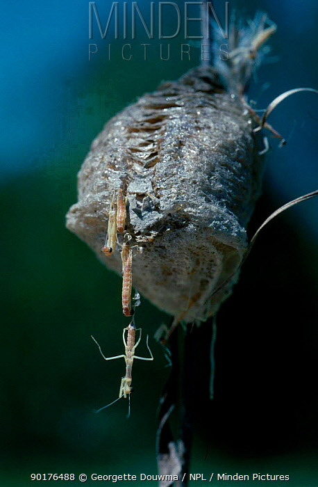 Praying mantis egg case with hatchlings emerging (Mantidae) Tennessee USA  -  Georgette Douwma/ npl