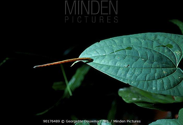 Leech on leaf stretching in response to body heat of prey (Hirudinea) Sabah Malaysia  -  Georgette Douwma/ npl