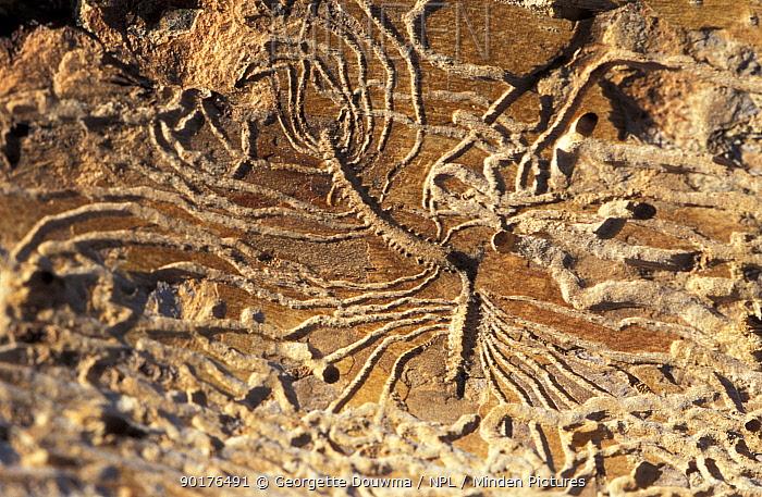 Elm bark beetle (Scolytus sp) galleries in Elm bark (Ulmus propinqua) UK galleries produced  -  Georgette Douwma/ npl