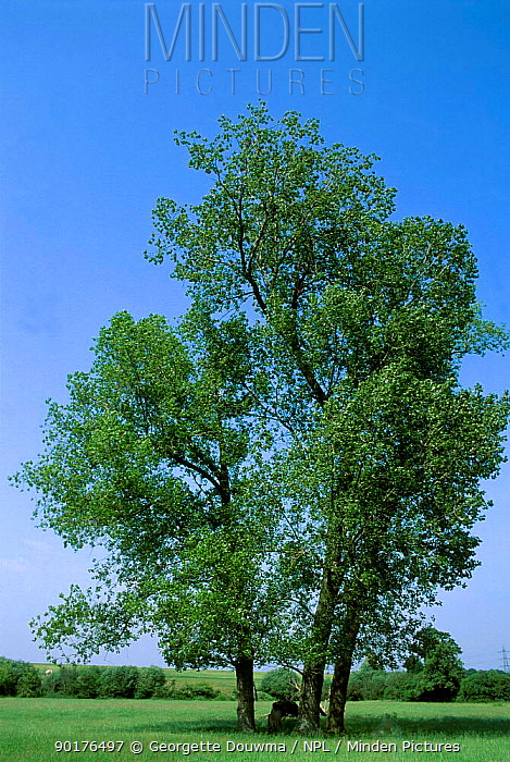 Aspen tree (Populus tremula) UK  -  Georgette Douwma/ npl
