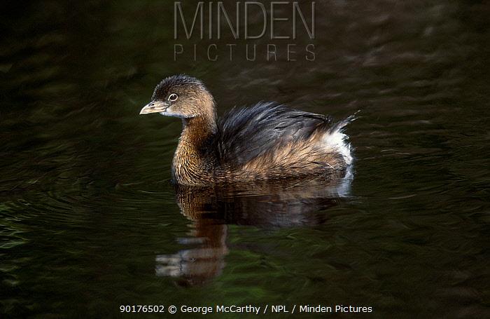 Pied-billed grebe chick (Podilymbus podiceps) Everglades Florida USA  -  George Mccarthy/ npl